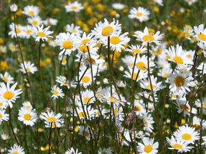 Wild Flower Seeds – Ox-Eye Daisy – 1gm (approx. 2,000 seeds)