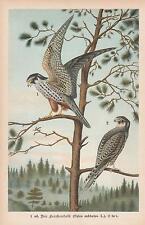ALBERO Falco allodole falco falco Subbuteo CHROMO-litografia 1896 Eurasian HOBBY