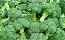 Broccoli Italian Green Sprouting Seed 25 Seeds Heirloom Garden Tasty Vegetable