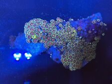 CE- WYSIWYG Two Tone Zoa Colony- Coral Explorers Live Coral Frag #Z26