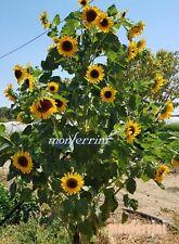 Sonnenblumen Mehrköpfig  an einer Pflanze mehr als 30 blüten 15 + Samen