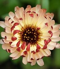40+ Bronzed Beauty Calendula Flower Seeds / Re-Seeding Annual