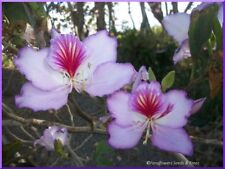 MAUVE/PINK  ORCHID TREE, 20+ FRESH SEEDS