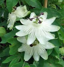 Passiflora White Queen hybrid 10 seeds