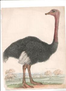1866 Hand Coloured Engraving Ostrich, Buffon Natural History