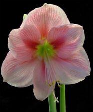Large Amaryllis Blushing Bride 26 centimeters -Us Seller -May Bloom Spring 2020