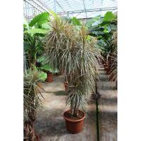 Dracaena marginata cv. 'Tricolor Rainbow'  Indoor/Outdoor - 12in Tall