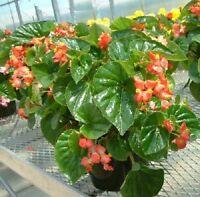 Begonia Seeds Higro Red 50 Pelleted Seeds flower seeds Wax Begonia Seeds