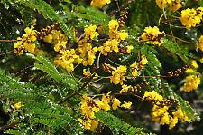 Peltophorum pterocarpus COPPERPOD Seeds!