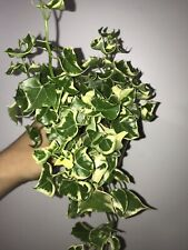 "Senecio Macroglossus Variegated Wax Ivy 4"""