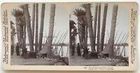 Egitto Bord Nilo Palmiers Foto Stereo Stereoview N° L9 Vintage Albumina 1896