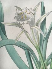 Edwards Botanical Register 1816 Hand-colored DAFFODIL SEA-PANCRATIUM Etching