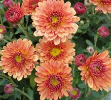 "HARDY MUM - MUMS - STAVINSKI ORANGE - CHRYSANTHEMUM - 2 PLANTS - 3"" POTS"