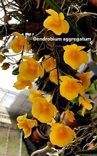 * Dendrobium aggregatum - 7 Bulbs Orchid Plant