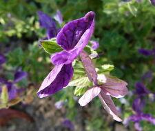 50 Samen Blauer Schopfsalbei Salvia Horminum Salbei