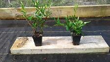 "1 - Frostproof Gardenia Flowering Fragrant Live Plant in 2.5 x 3"" Pot"