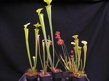 Carnivorous Sarracenia Pitcher Conservatory Collection B