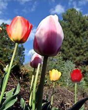 Blumenzwiebeln Tulpen Darwin Hybrid 10 Gemischt Winterhart Herbst Garten Knolle