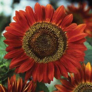 Red Sun Sunflower | Maroon Burgundy Velvet Queen Chocolate Cherry Flower Seed