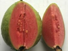 50 Large Sweet Ruby Supreme Guava Seeds, Psidium guajava Seeds