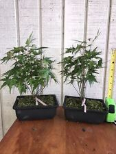 25 Seedlings, Green Japanese Maple, Pre Bonsai, Forest / Clump Style