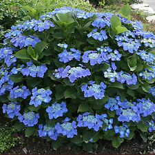 Hydrangea Macrophylla Blaumeise -Blue  Lacecap Flowers