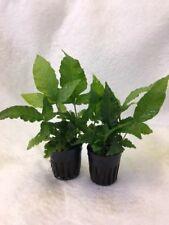 PT016 Aquarium Aquatic Live Plants Anubias congensis x 2 pot grown plants