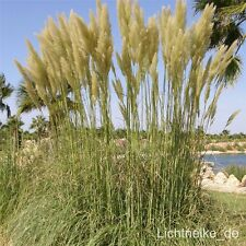 Pampasgras (Cortaderia selloana) Weisse Feder * hohes Ziergras * Schmuckwirkung