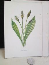 Vintage Print,LAMBS TONGUE,Familiar Garden Flowers,Hulme