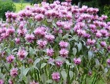 """Bee Balm """"Bergamot"""" 100 Seeds Lovely Lavender Flowers"""