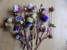 WOW 10 Aquilegia-Combine Mixed colours Hardy Perennial PLANTS