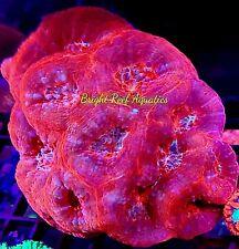 Bright Reef Aquatics - WYSIWYG XL COLONY FIREBALL BOWERBANKI LIVE CORAL LPS SPS