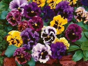 Pansy Rococo Double Mix - Viola x wittrockiana - Biennial Flower Seeds