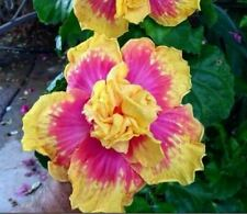 Hibiscus 🌺 GOLD PINK DBL Seeds Dinnerplate Flowers Perennial Tropical Rainbow