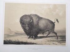 Buffalo Bull Grazing, Nr.2.George Catlin,Native American Orig. Lithograph,Lim.Ed