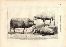 Cassell'S Mammals - Sheep Ofcentral & West France- 150 Years Old Wood Engraving