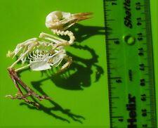 Common Iora Bird Aegithina tiphia Skeleton FAST SHIP FROM USA