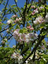 3 Crab Apple Trees  4-5ft Native Malus Hedging,Make your own Cider & Jelly
