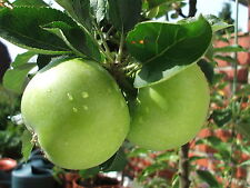 Granny Smith Apple Tree 4-5ft, Ready to fruit,Self Fertile Sharp Taste.