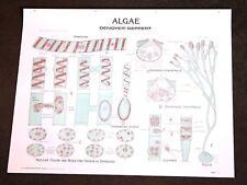 Vintage Denoyer - Geppert Biology Wall Chart #1894 - Algae