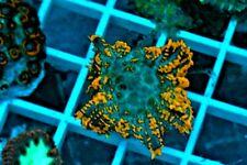 Live Coral Rhodactis Mushroom Neon/Ultra - Frag WYSIWYG