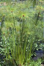 für den  Wintergarten: das immergrüne Zyperngras, sehr dekorativ.