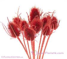 Trockenblumen Karde rot gefärbt kaminrot Naturprodukt Trockenstrauß ca. 55 cm