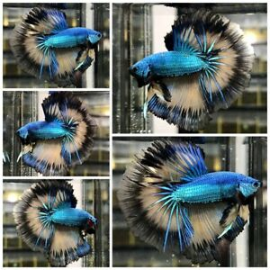 Live Fish Betta Male Premium Grade : Double BEE !!  Overhalfmoon