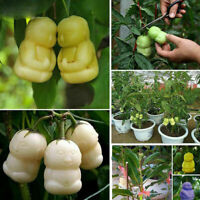 10pcs Seltene köstliche Ginseng Frucht Samen Gemüse Pflanzensamen Neu