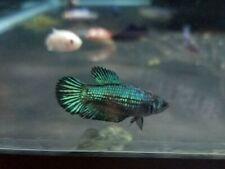5 Female Betta Sorority - NICE COLORS LIVE FISH