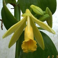 VANILLA BEAN ORCHID planifolia vanilla vine part-shade plant in 175mm pot