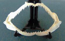 """Real MILK SHARK Jaws 4.5"""" Rhizoprionodon acutus Uncommon Jaw taxidermy PROPER ID"""