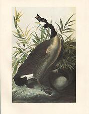 VINTAGE JOHN JAMES AUDUBON BIRD PRINT ~ CANADA GOOSE