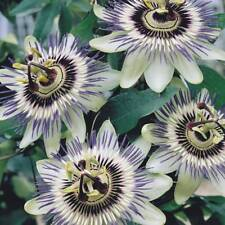 10pcs Passiflora caerulea seeds blue crown Passion Flower Hardy Perennial Fruit